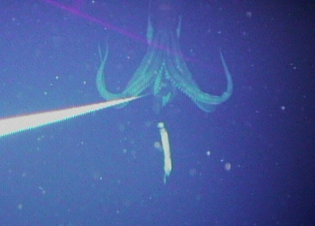 Giant Squid - First Ever Photo - Natural Environment