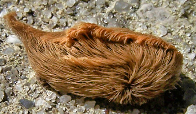 Megalopyge opercularis - Hairy Caterpillar
