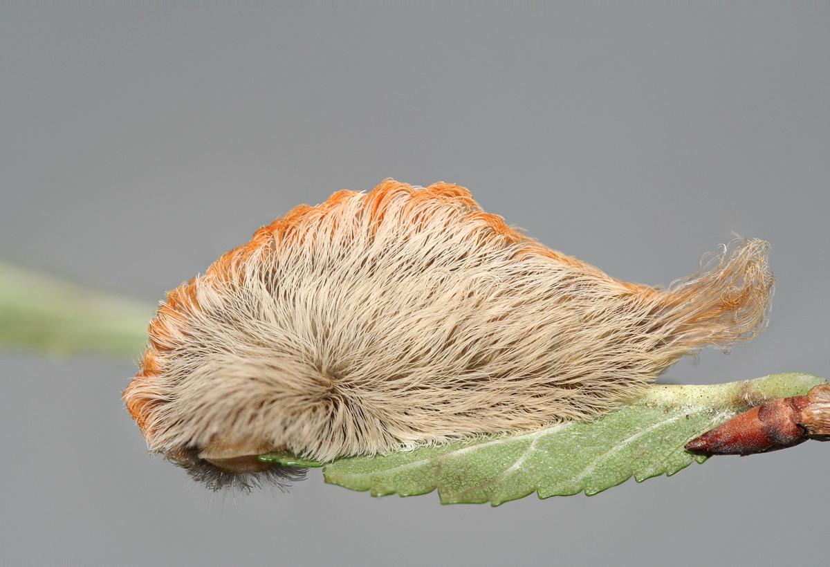 Megalopyge opercularis - Puss Caterpillar - Wig Like