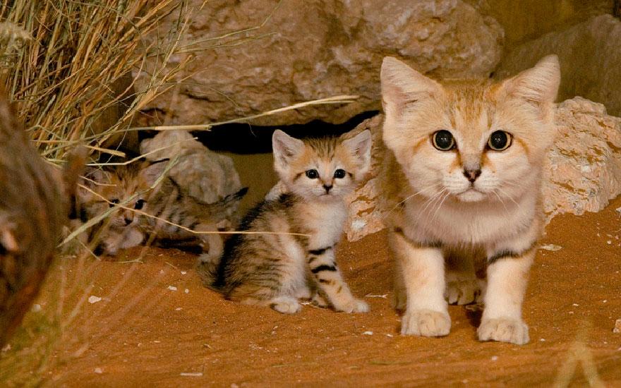 Sand Dune Cat 1
