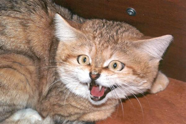 Sand Dune Cat - Angry