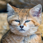 Wild Cats #6: Sand Cats