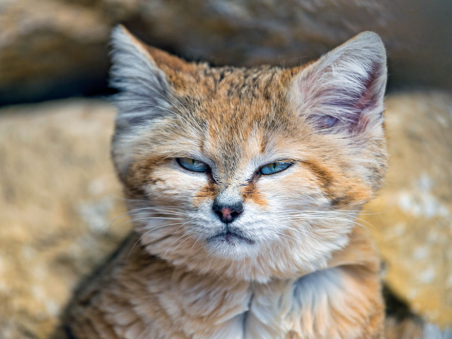 Sand Dune Cat - Face Blue Eyes