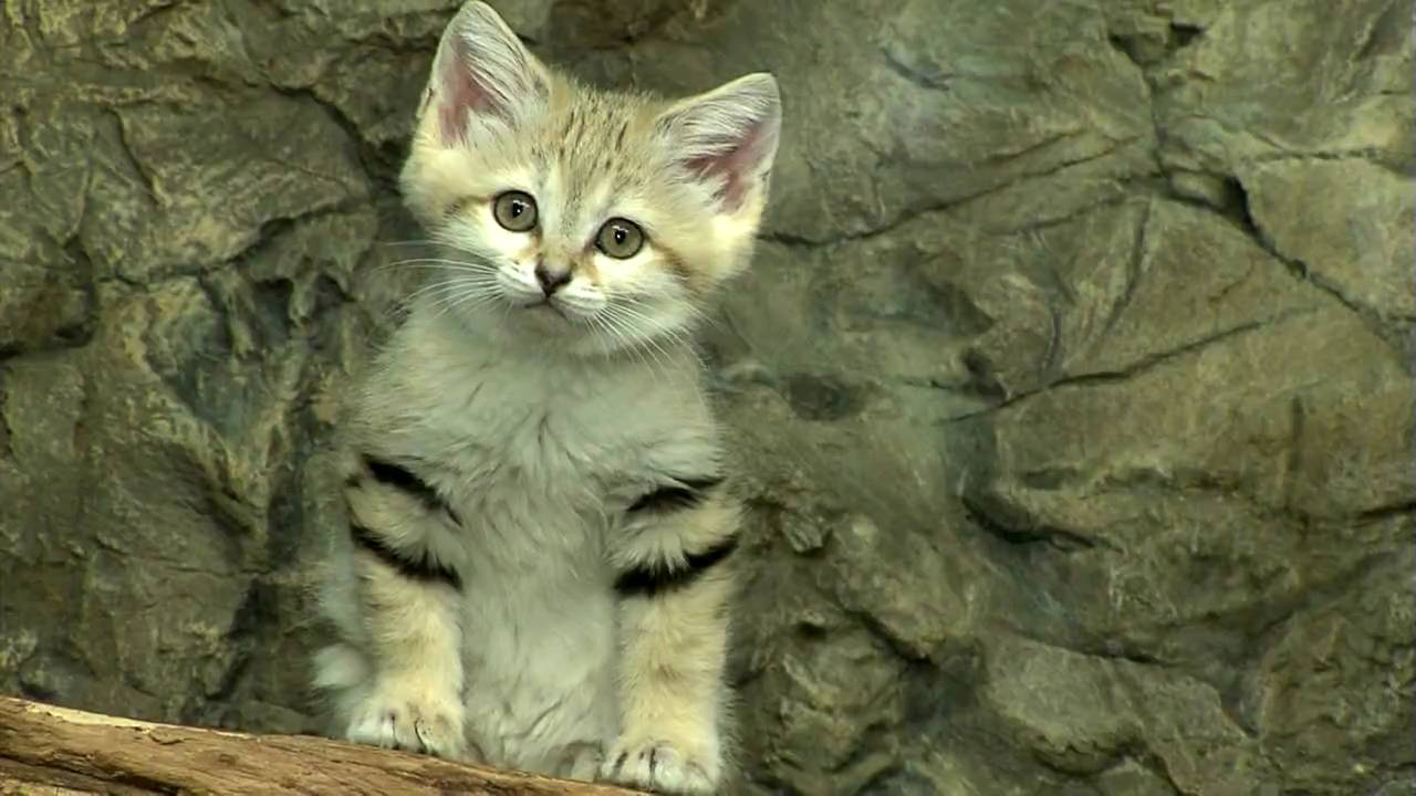 Sand Dune Cat In Zoo