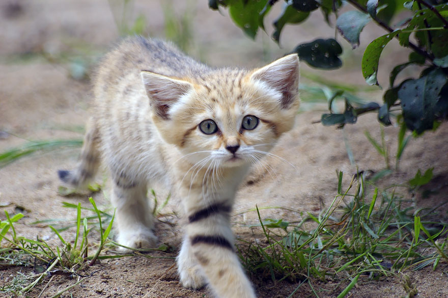 Sand Dune Cat Kitten Walking