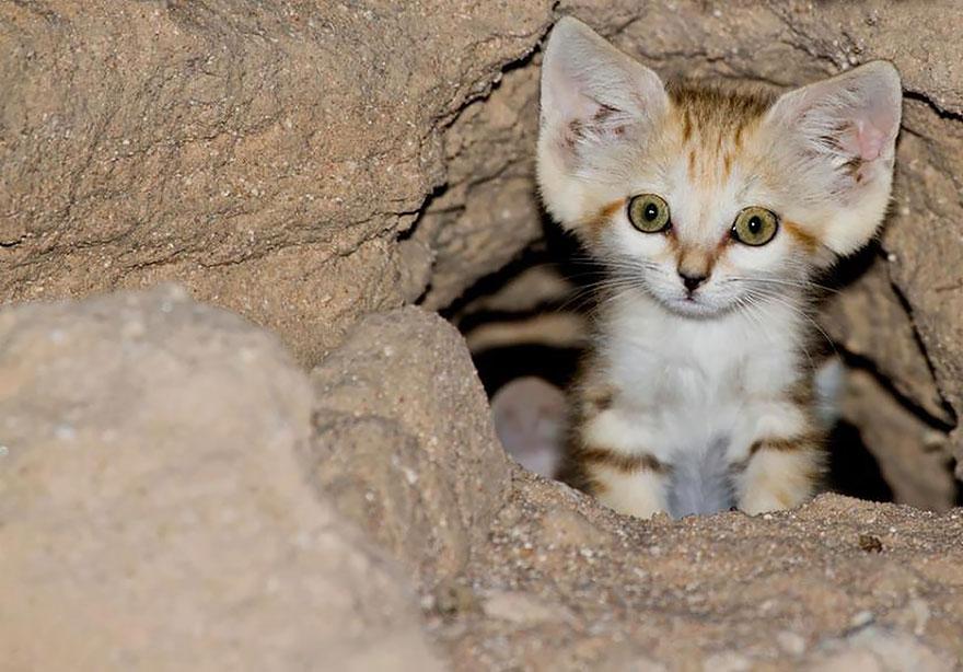 Sand Dune Cat Kitten