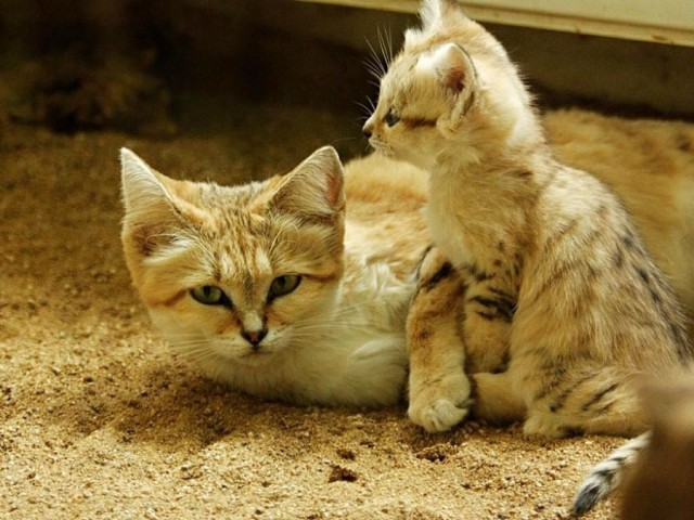 Sand Dune Cat Mother With Kitten