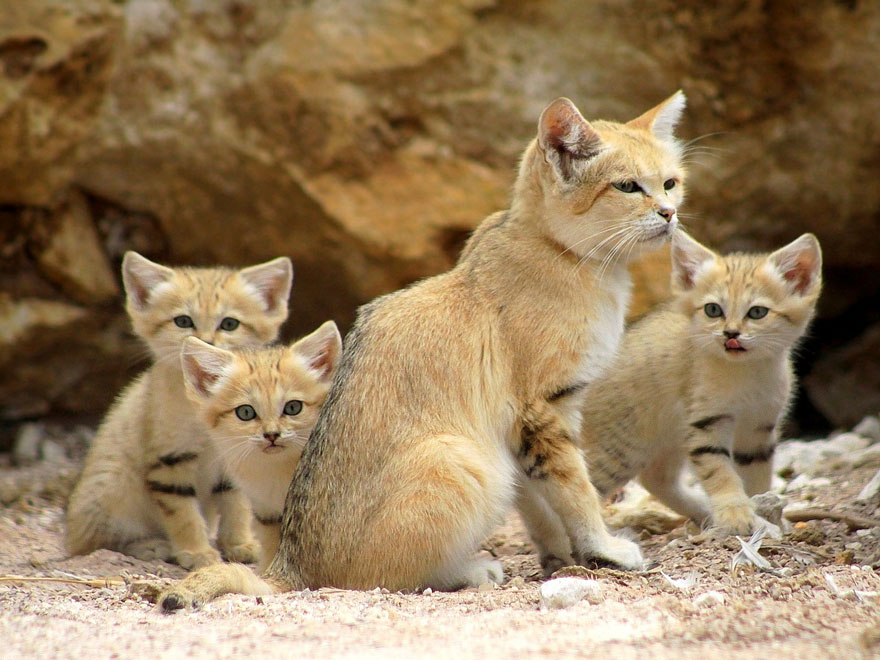 Sand Dune Cat With Kittens