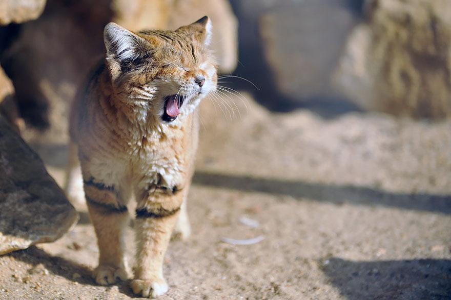 Sand Dune Cat Yawning
