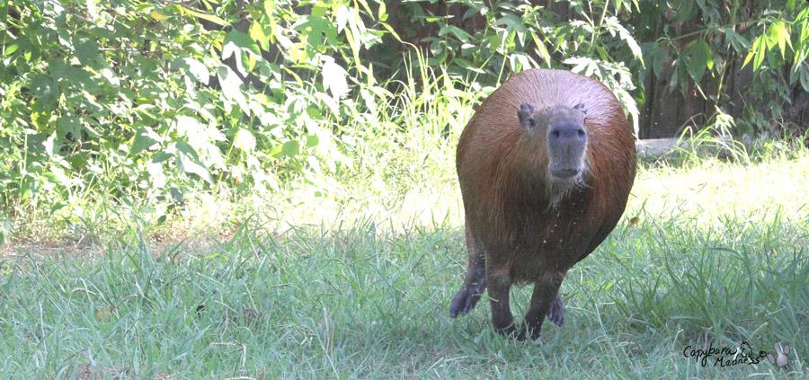 Capybara On The Run
