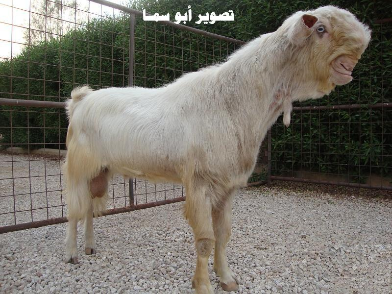 Damascus Goat Photo