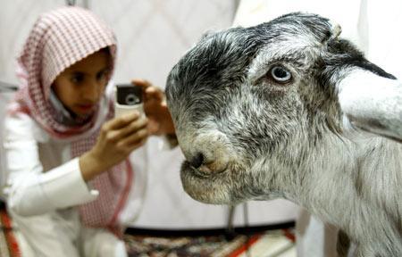 Damascus Goats Shami - Roman Nose