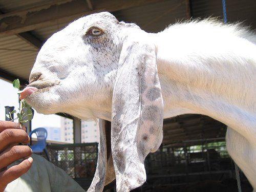 Damascus Goats Shami - White