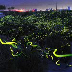 Beautiful Long Exposure Photos Of Fireflies By Yume Cyan