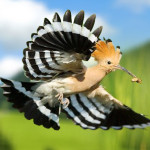 The Magnificent Hoopoe: From Ancient Adulation To CBeebies