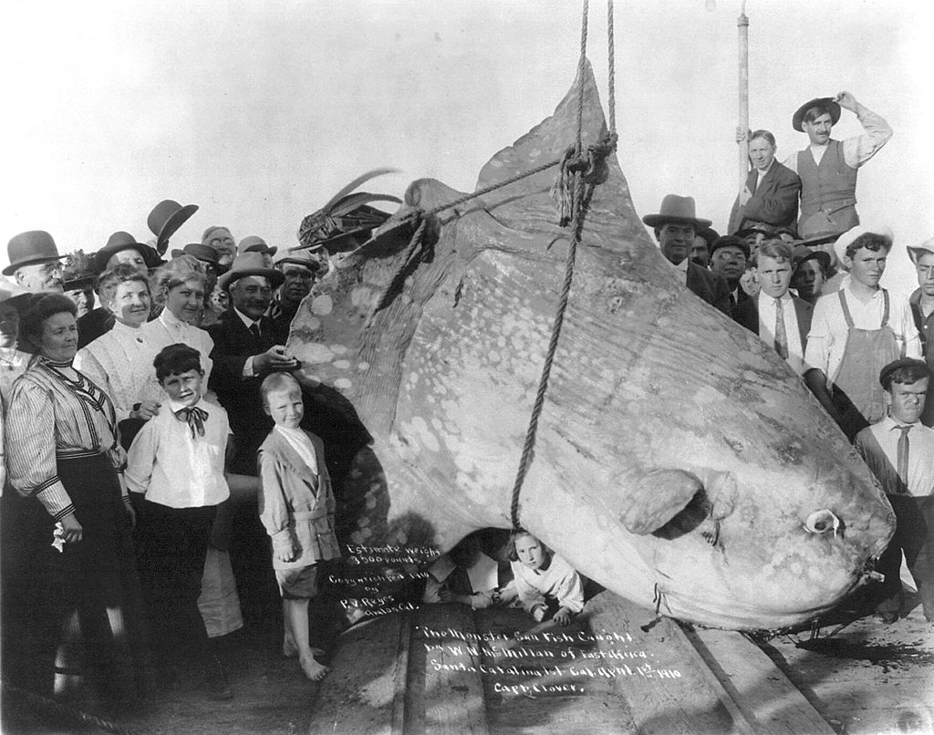 Ocean Sunfish - Mola Mola - Caught In 1910