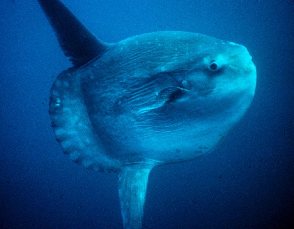 Ocean Sunfish - Mola Mola - Huge
