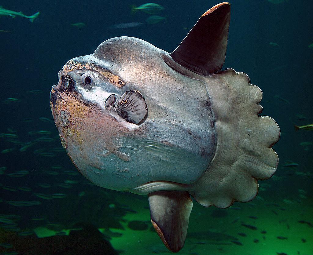 Ocean Sunfish - Mola Mola