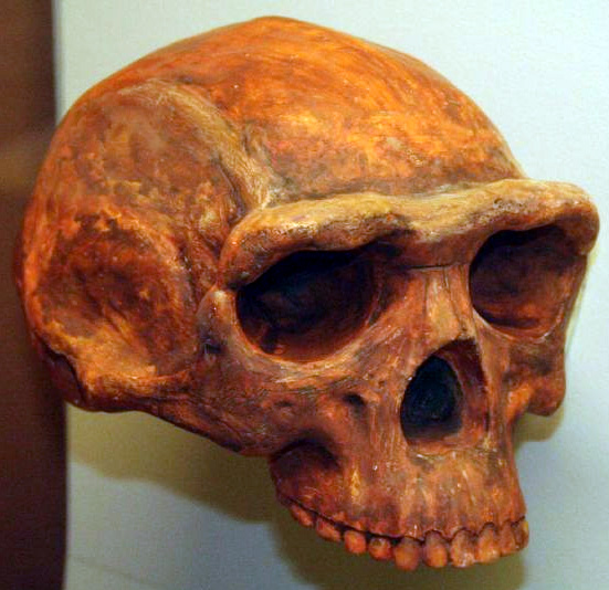 Timeline of earth - Homo erectus