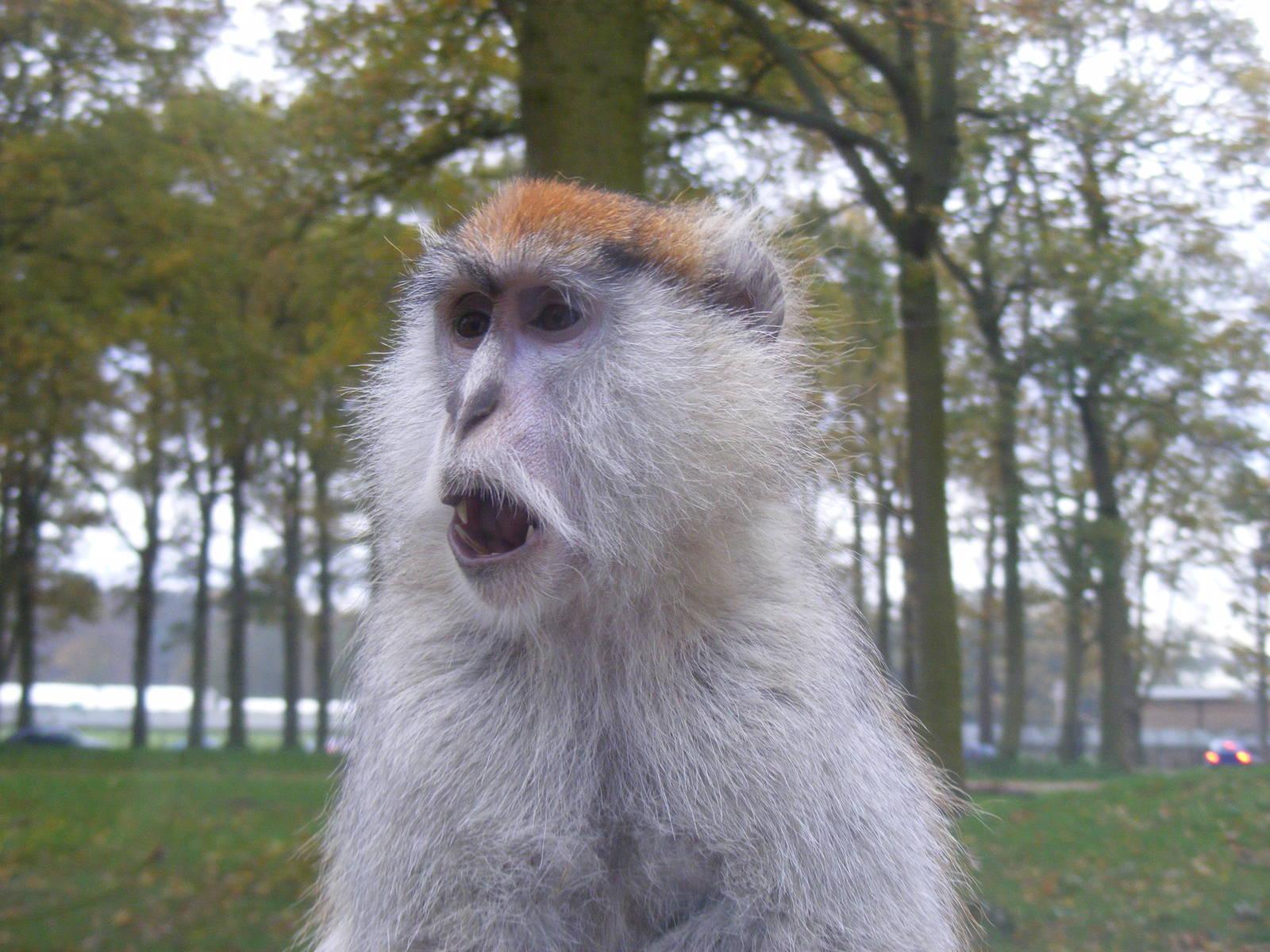 Patas Monkey - Close Up