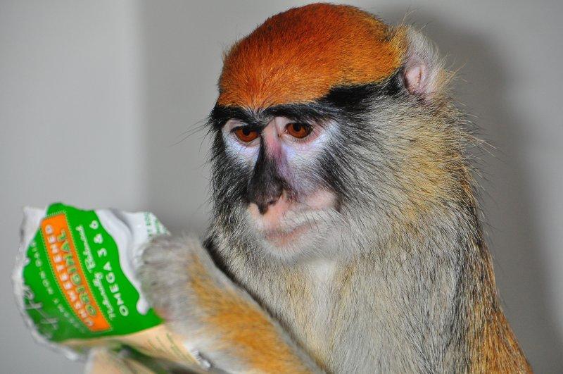 Patas Monkey - Eating Snack