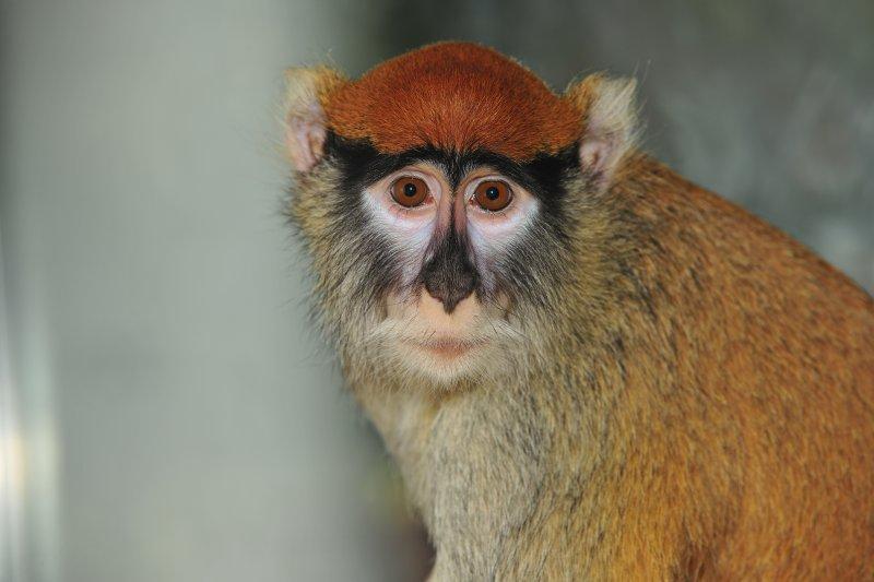 Patas Monkey - Fastest Runner in Africa