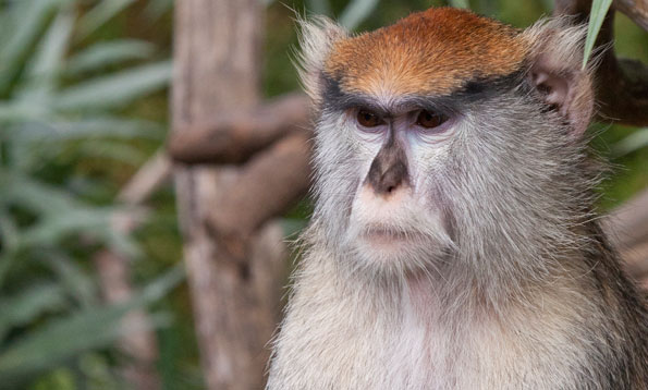 Patas Monkey - Military Monkey