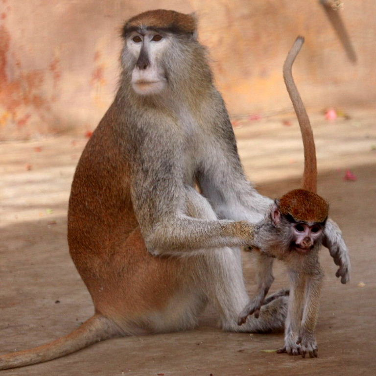 Patas Monkey - Proud With Child