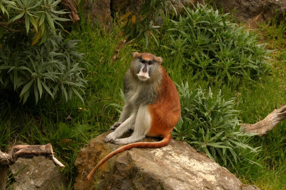 Patas Monkey - Sitting on rock