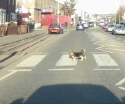 VIDEO: Dogs Crossing The Road Sensibly