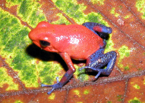 Strawberry Poison Dart Frog - Weird Calls