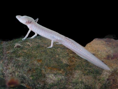 Troglobite - Texas blind salamander
