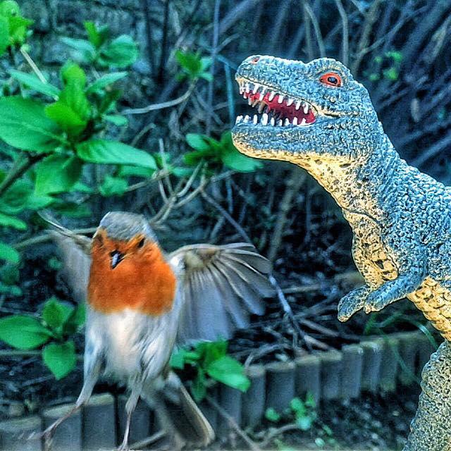 Robin Buzzing Rex