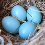 Time-Lapse Video: Bird's Eggs Vs Snake