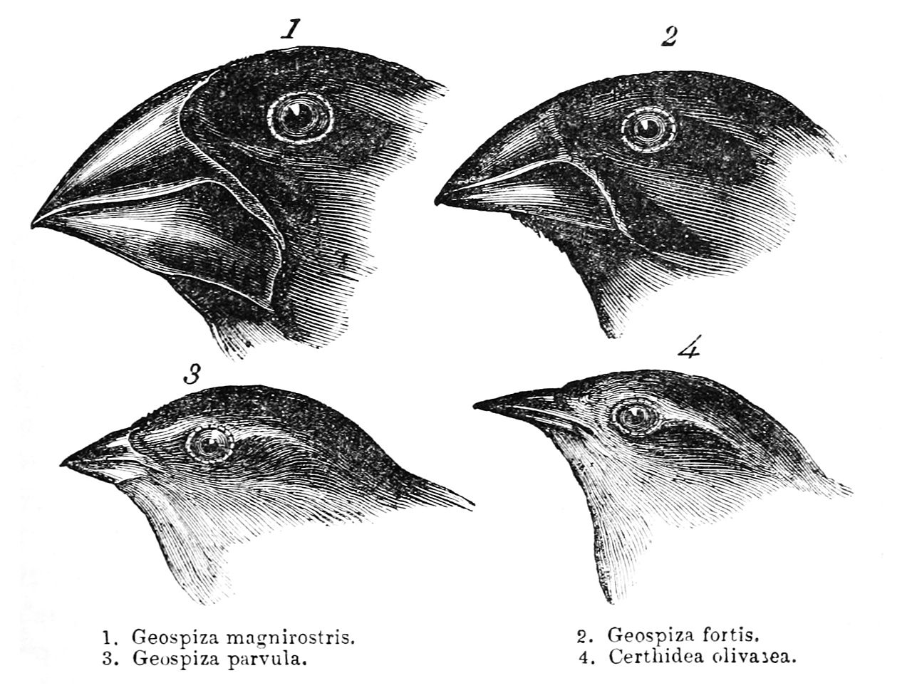 Darwins Finches Evolution Speciation
