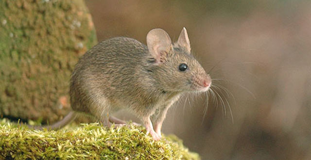 Faroe Island House Mouse Evolution