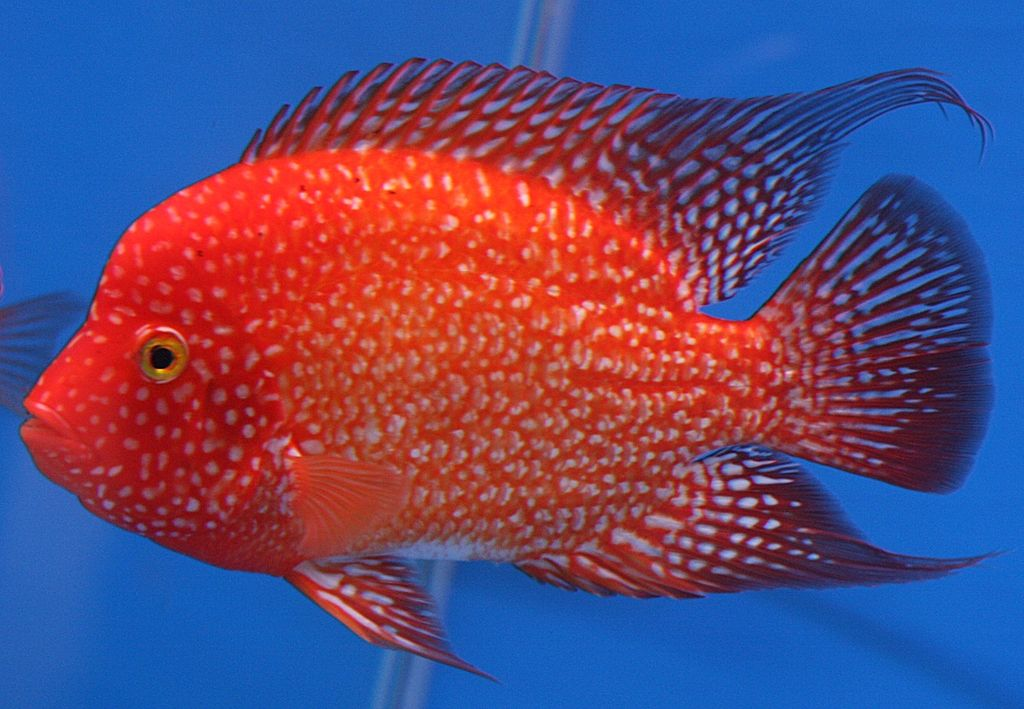 Evolution Speciation - Texas Red Cichlid