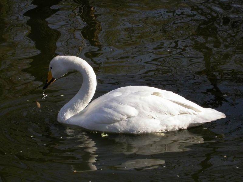 Whooper Swan - Finlands National Bird