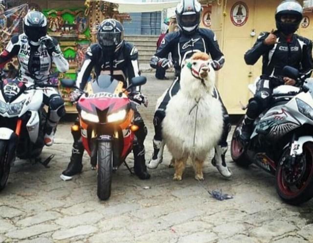 Funny Russia - Lama Motorbike