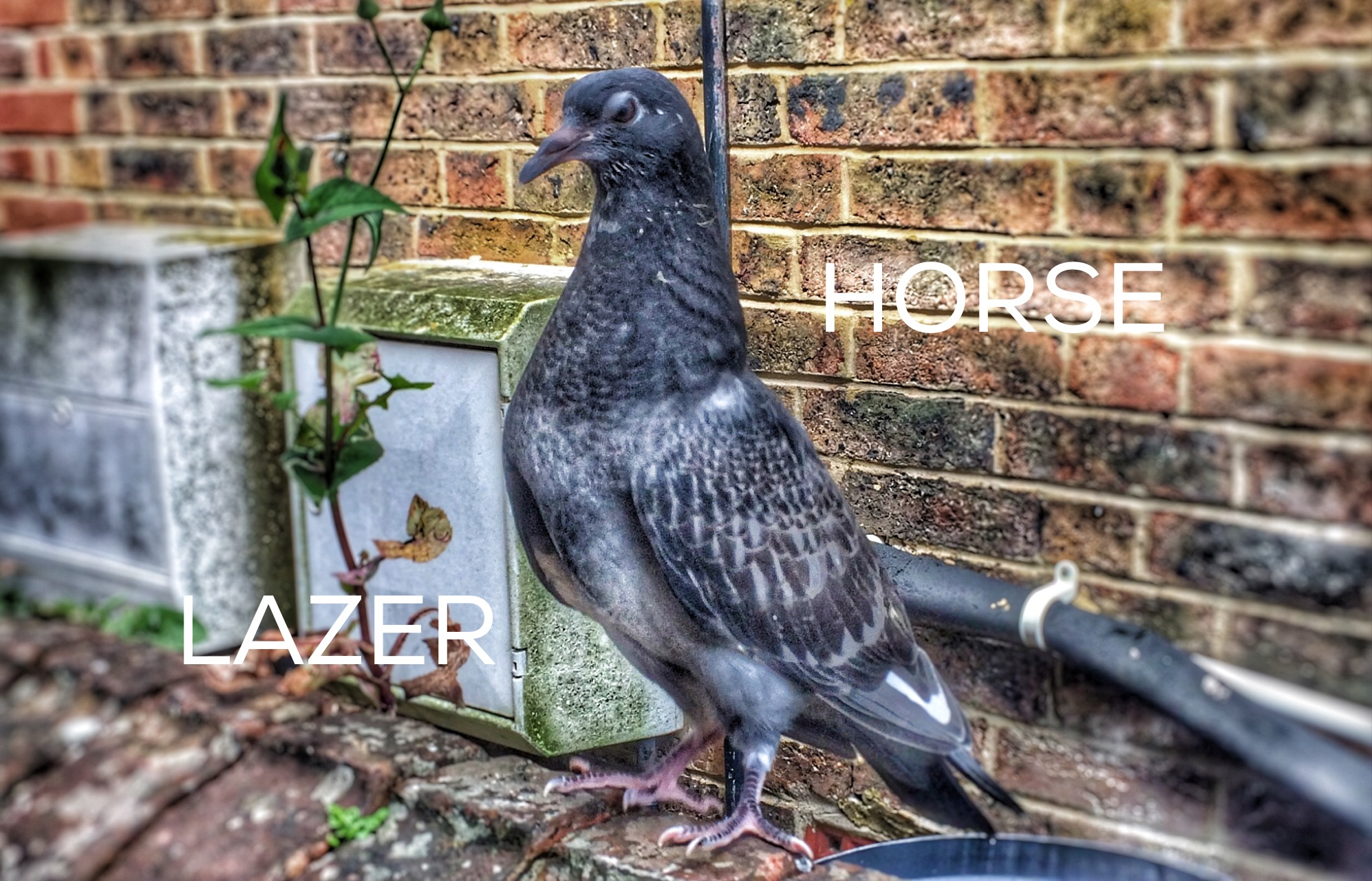 Amazing Pigeon Facts Lazer Horse