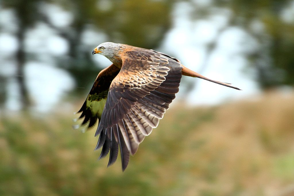 Red Kite Stealing Underwear