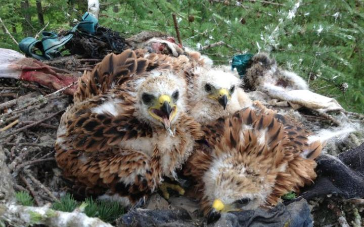 Red Kites Stealing Pants -  ANGUS GLENS MOORLAND GROUP