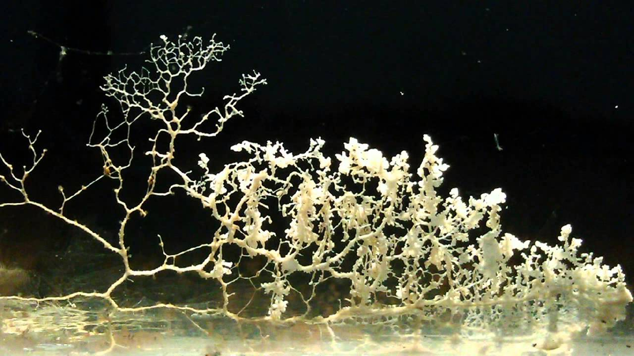 Things That Look Like Trees - Slime mold in freshwater breeding tank