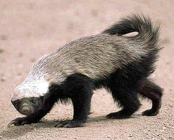 countershading-reverse-honey-badger