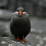 The Beautifully Ornate Inca Tern