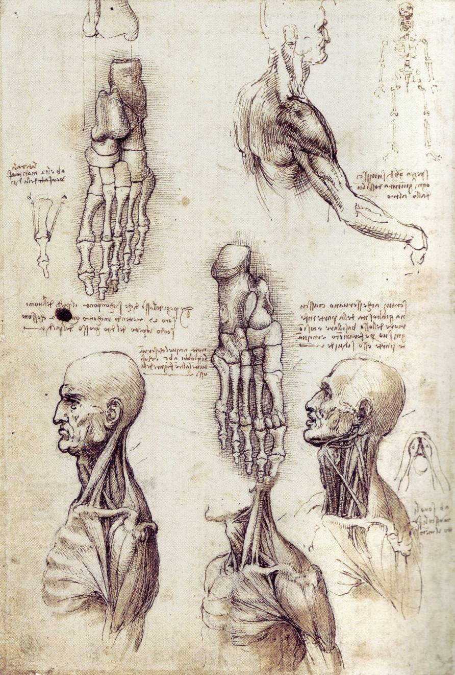 leonardo-da-vinci-sketches-shoulder-2
