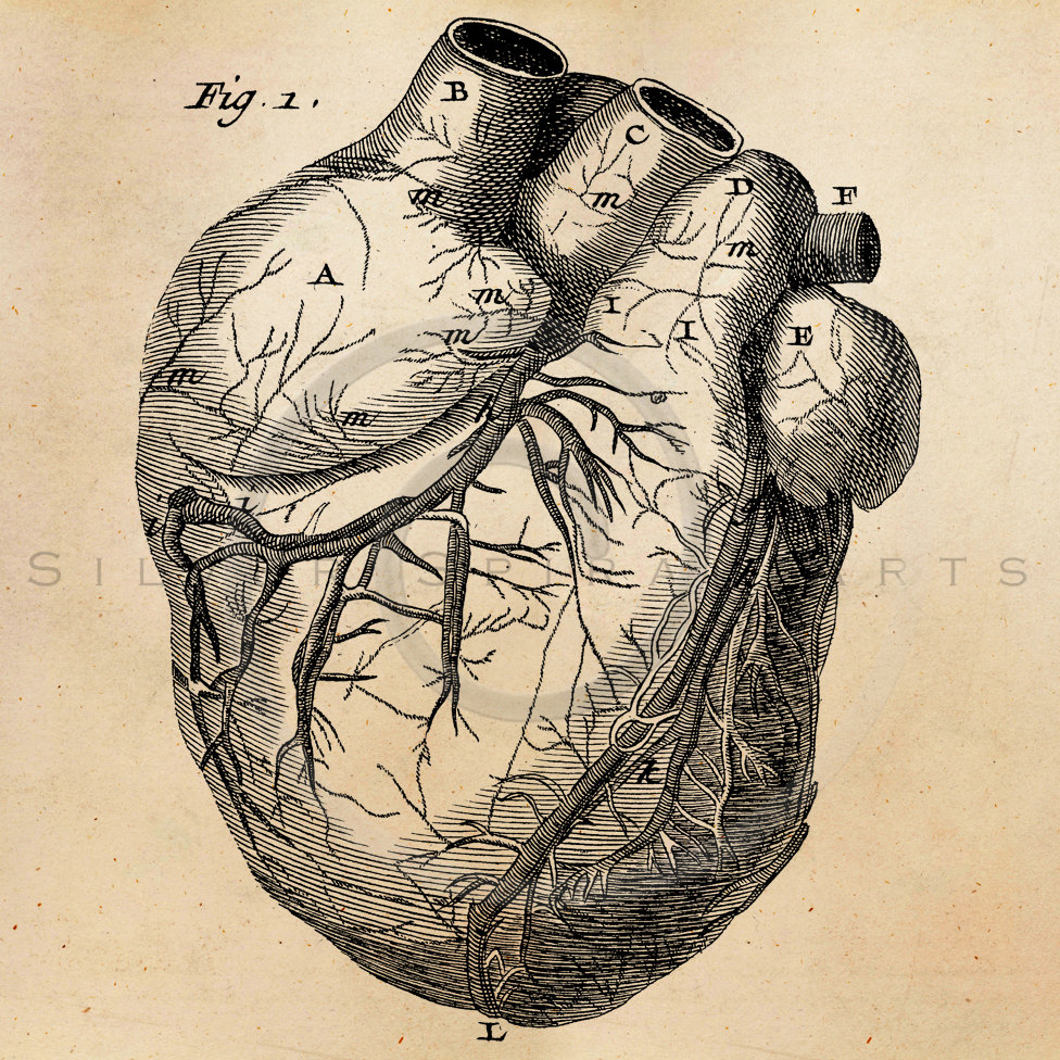 old-anatomy-drawings-heart