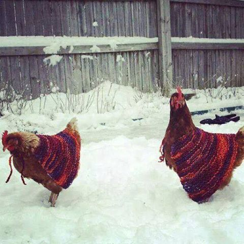 russian-humour-chicken-coats