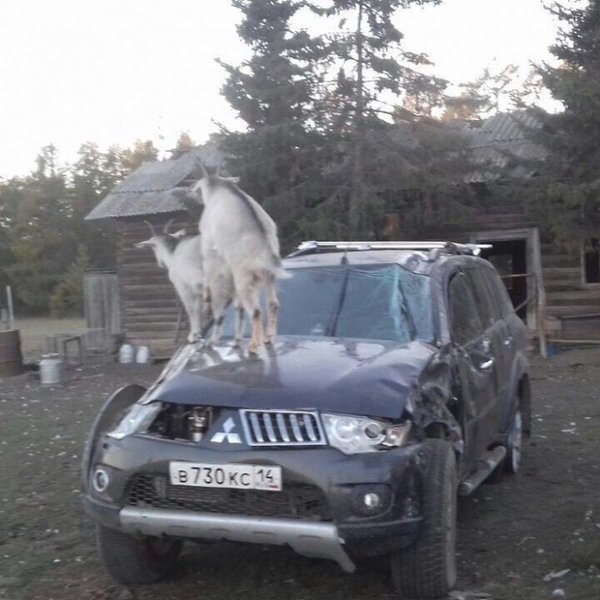awesome-russia-goats-on-a-car