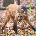 Maned Wolf: A Fox On Stilts